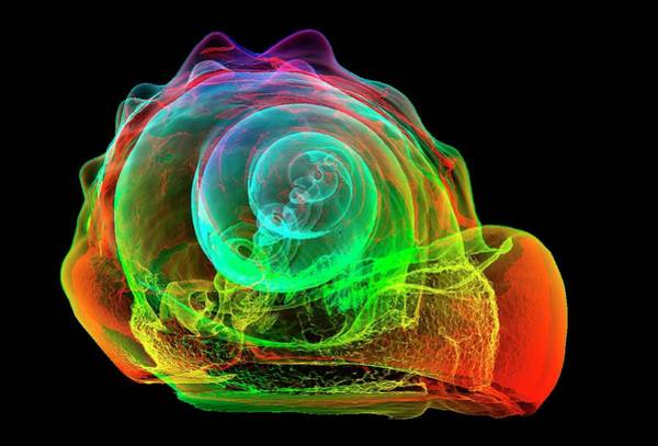 X-ray Photograph - Flame Helmet Seashell by K H Fung