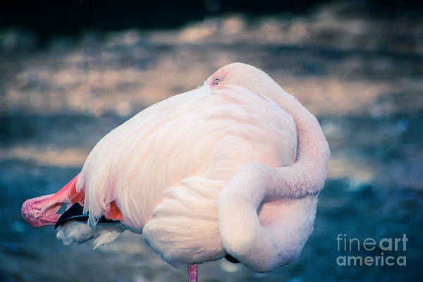 Photograph - Flamingo 2b by Hannes Cmarits