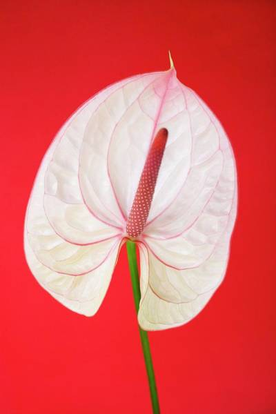 Palette Photograph - Flamingo Flower (anthurium Sp.) by Ian Hooton/science Photo Library