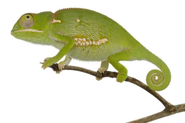 Photograph - Flap-necked Chameleon Gorongosa by Piotr Naskrecki