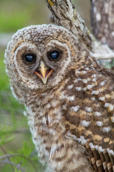 Barred Owl Photograph - Fledgling Barred Owl (strix Varia by Chuck Haney