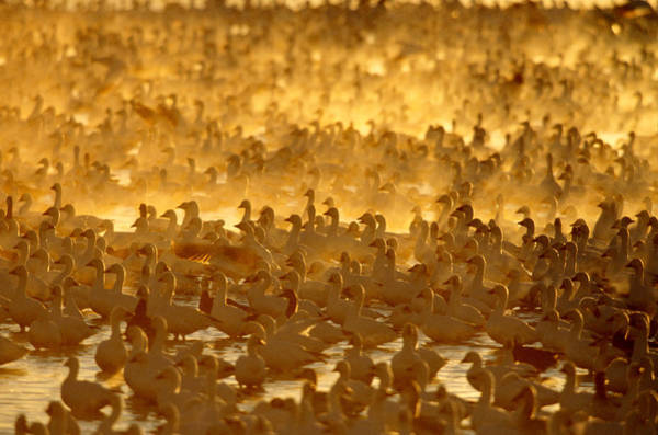 Wall Art - Photograph - Flock Of Snow Geese At Sunrise by Craig K. Lorenz