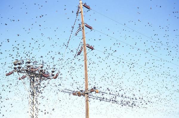 Photograph - Flock Of Starlings by Richard Hansen