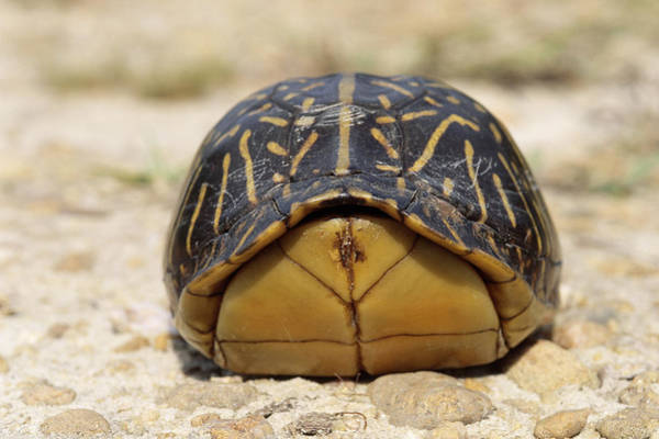 Box Turtle Photograph - Florida Box Turtle by Karl H. Switak