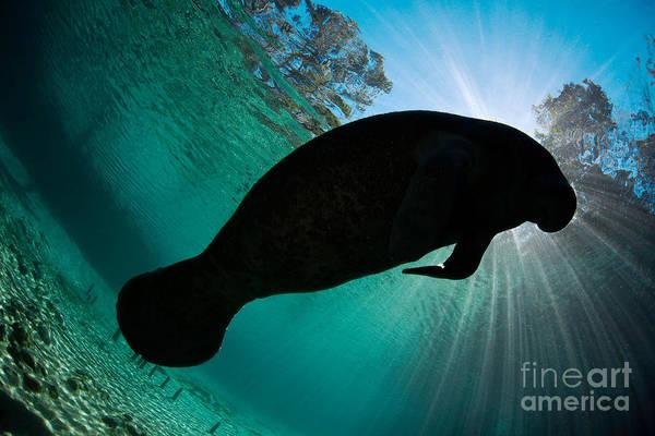 West Indian Manatee Photograph - Florida Manatee by David Fleetham
