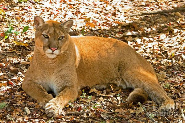 Catamount Photograph - Florida Panther by Millard H. Sharp
