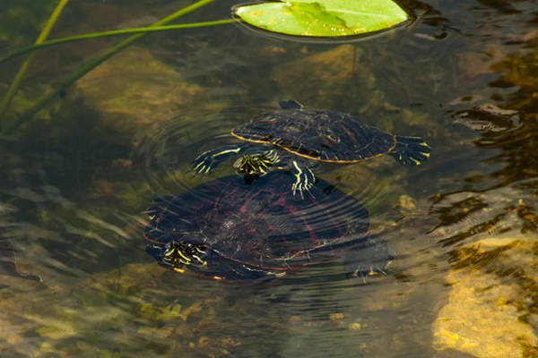 Photograph - Florida Redbellies by Ed Gleichman