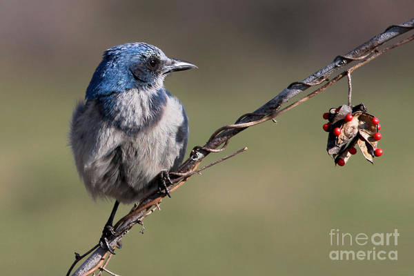 Photograph - Florida Scrub Jay by Meg Rousher