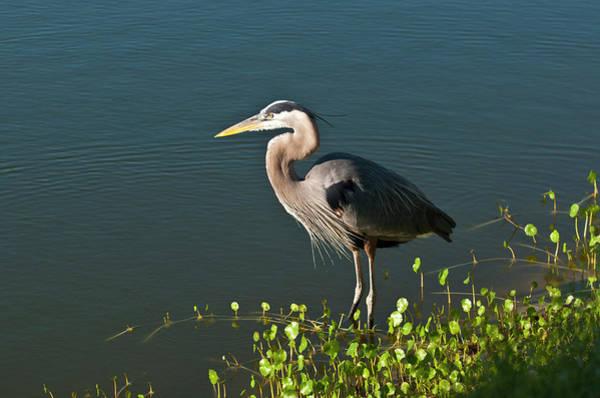 Ardea Photograph - Florida, Venice, Great Blue Heron by Bernard Friel