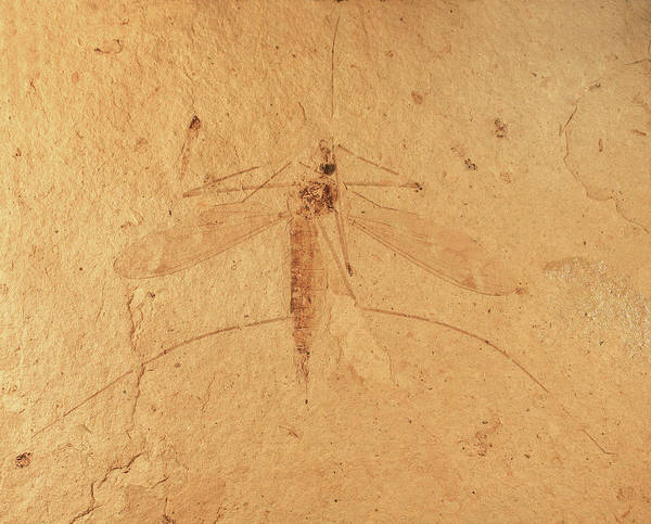 North London Wall Art - Photograph - Florissant Formation Insect Fossil by Natural History Museum, London/science Photo Library