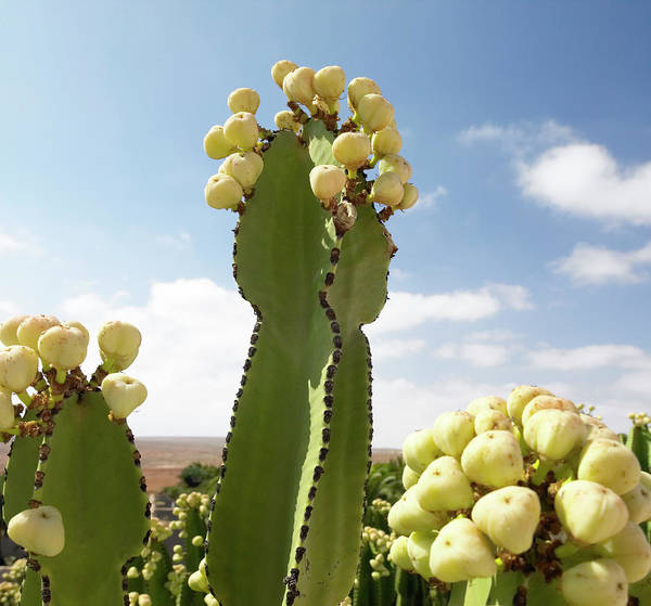 Wall Art - Photograph - Flowering Cactus Plant by Steve Allen/science Photo Library