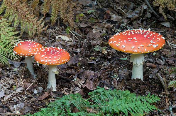Toadstools Wall Art - Photograph - Fly Agaric Fungus by Nigel Downer