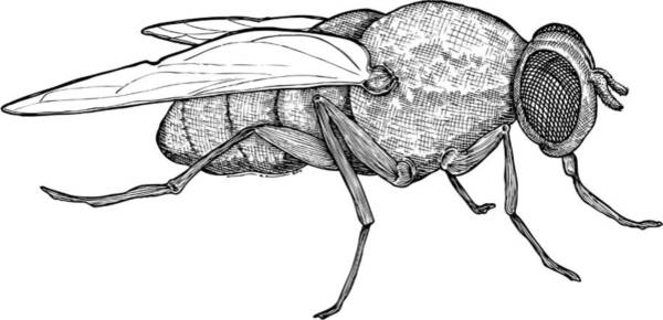 Wall Art - Drawing - Fly by Karl Addison