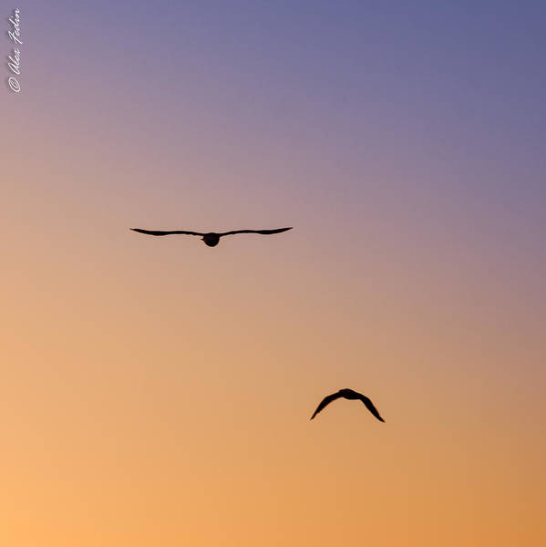Photograph - Flying Birds by Alexander Fedin
