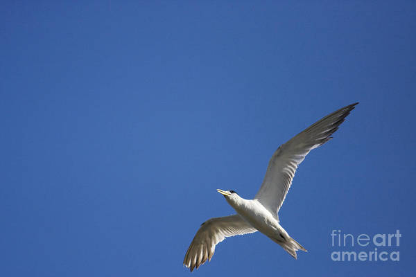 Tern Wall Art - Photograph - Flying Crested Tern by Jorgo Photography - Wall Art Gallery