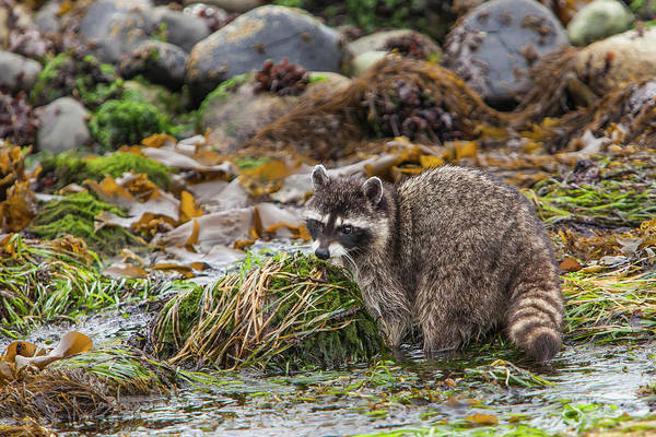 Raccoon Photograph - Foraging Raccoon At Low Tide In Tide by Michael Qualls