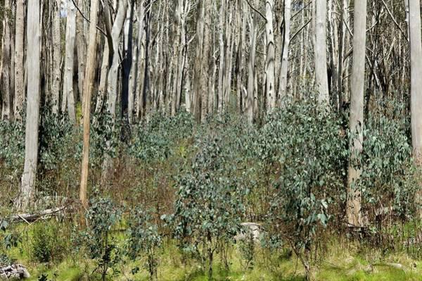 Eucalyptus Photograph - Forest Regeneration After Bushfire by Dr Jeremy Burgess