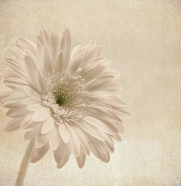 African Daisies Photograph - Forever More by Kim Hojnacki