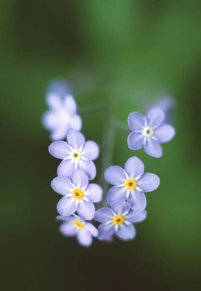 Forget Me Not Photograph - Forget-me-not Flowers by Simon Fraser/science Photo Library