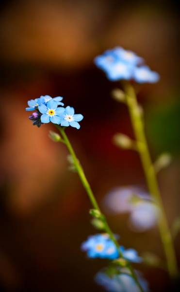 Photograph - Forget Me Not by  Onyonet  Photo Studios