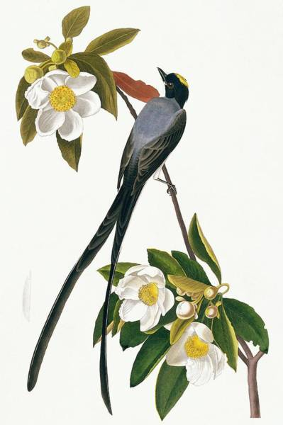 Wall Art - Photograph - Fork-tailed Flycatcher by Natural History Museum, London/science Photo Library