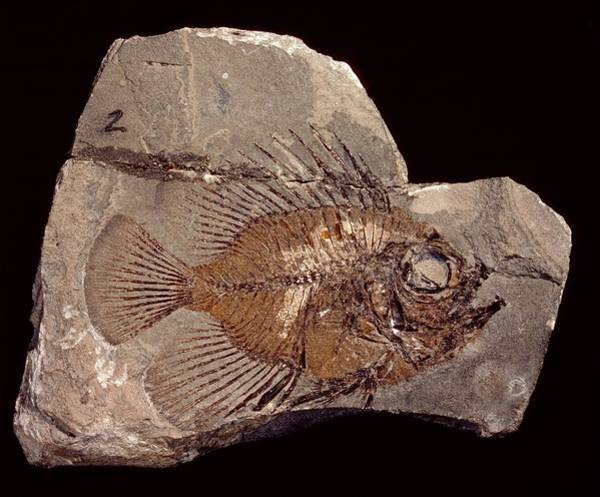 Wall Art - Photograph - Fossil Fish by Natural History Museum, London/science Photo Library
