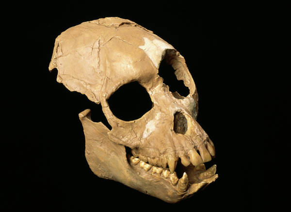 Relative Photograph - Fossil Proconsul Primate Skull by Pascal Goetgheluck/science Photo Library