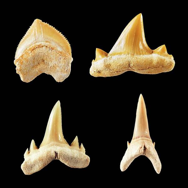 Comparative Wall Art - Photograph - Fossil Shark Teeth. by Geoff Kidd/science Photo Library