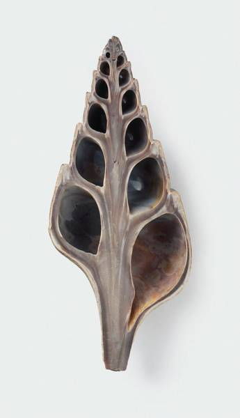 Cross-section Photograph - Fossilised Clavithes Shell by Dorling Kindersley/uig