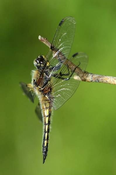 Odonata Photograph - Four-spotted Chaser Dragonfly by Colin Varndell