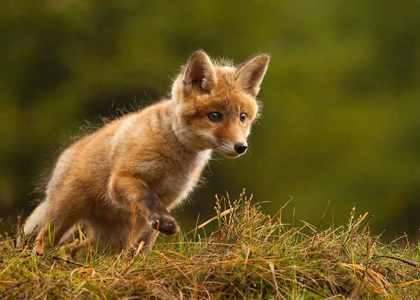 Young Photograph - Fox by Robert Adamec