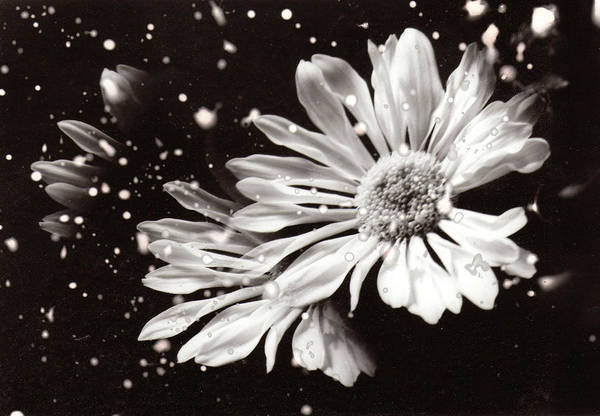 Photograph - Fractured Daisy by Karin Thue