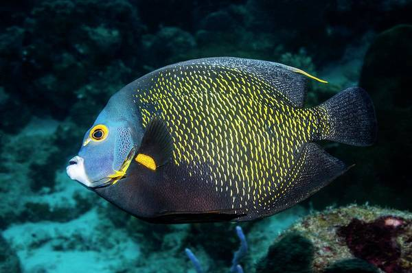 Ichthyology Wall Art - Photograph - French Angelfish by Georgette Douwma