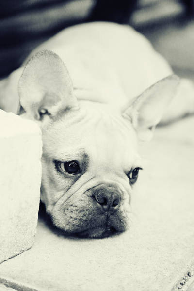 Hund Wall Art - Photograph - French Bulldog by Falko Follert
