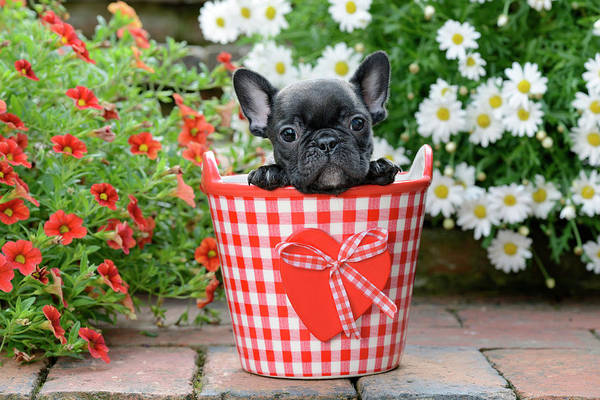 Wall Art - Painting - French Bulldog Puppy In Red Bucket by MGL Meiklejohn Graphics Licensing