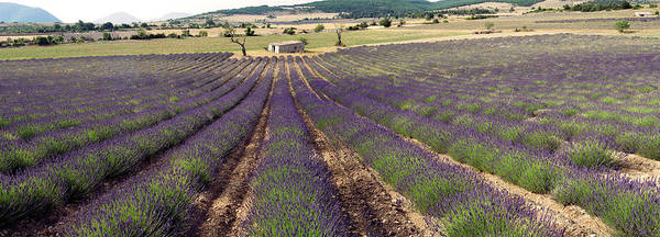 Wall Art - Photograph - French Lavender (lavandula Stoechas) by Tony Craddock/science Photo Library