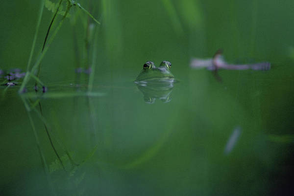 Bull Frog Photograph - Frog by Jose Azel