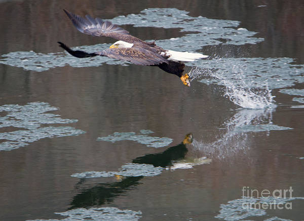 Fish Eagle Photograph - Frozen Dinner by Mike Dawson