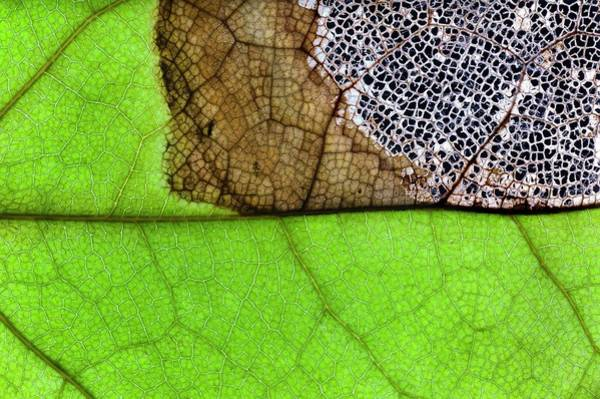 Wall Art - Photograph - Fungal Infection Of A Leaf by Dr Jeremy Burgess/science Photo Library