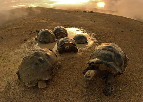 Adapted Photograph - Galapagos Giant Tortoises On Volcano Rim by Paul D Stewart