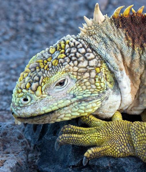 Galapagos Islands Wall Art - Photograph - Galapagos Land Iguana by Steve Allen/science Photo Library