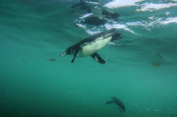 Ecuador Photograph - Galapagos Penguin (spheniscus Mendiculus by Pete Oxford