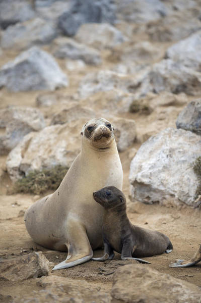 Galapagos Islands Wall Art - Photograph - Galapagos Sea Lion And Pup Champion by Tui De Roy