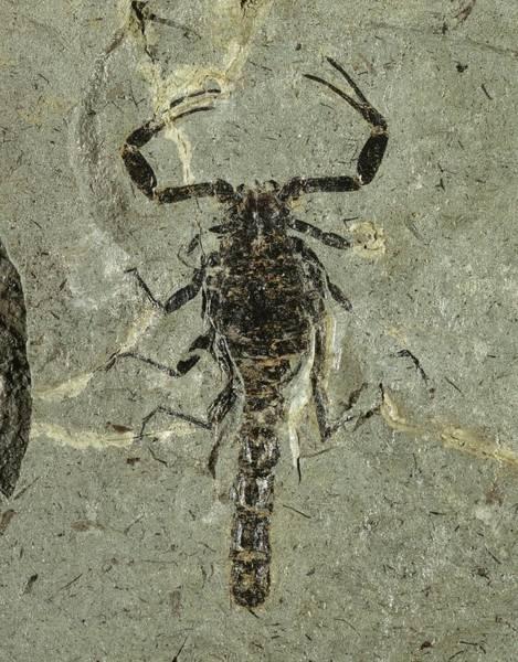 Specimen Wall Art - Photograph - Gallio Scorpion Fossil by Gilles Mermet