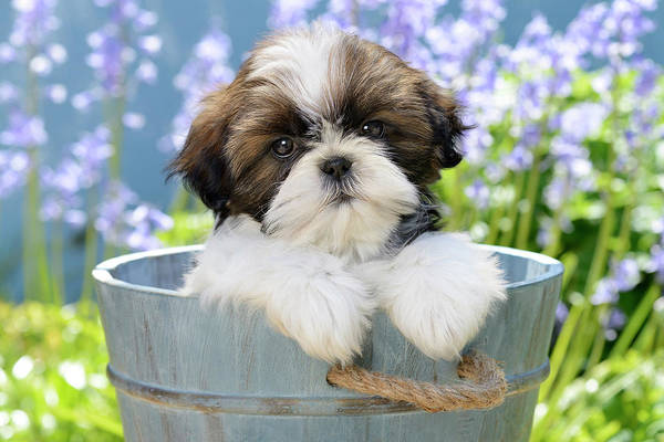 Wall Art - Painting - Garden Bucket Puppy by MGL Meiklejohn Graphics Licensing