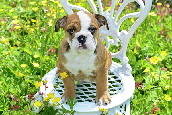 Wall Art - Painting - Garden Bulldog Puppy by MGL Meiklejohn Graphics Licensing