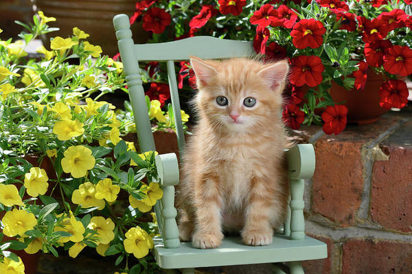 Wall Art - Painting - Garden Chair Kitten by MGL Meiklejohn Graphics Licensing