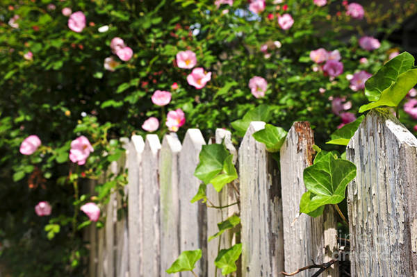 Photograph - Garden Fence With Roses by Elena Elisseeva