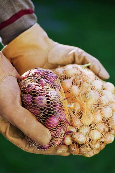 Wall Art - Photograph - Gardener Holding Onion Sets by Gustoimages/science Photo Library