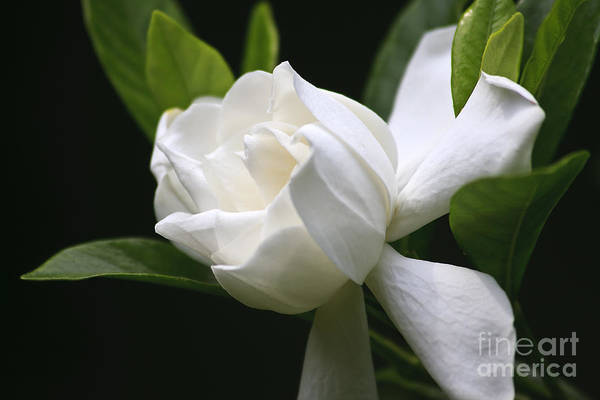 Photograph - Gardenia Bloom by Jill Lang